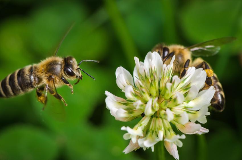 Pszczoła latająca nad kwiatem koniczyny, a także rośliny miododajne, rośliny łąkowe i kwiaty miododajne