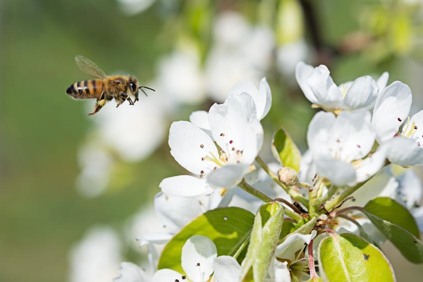 Pszczoła latająca nad kwiatem, a także rośliny miododajne, rośliny łąkowe i kwiaty miododajne