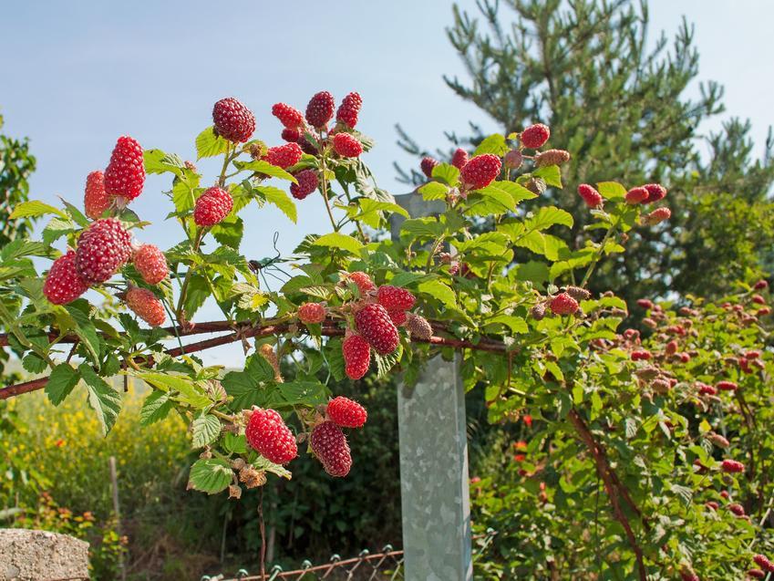 Malinojeżyna w czasie owocowania, a także jeżynomalina i zasady jej uprawy