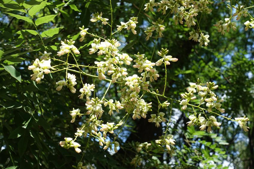 Drzewo ozdobne perełkowiec japoński w czasie kwitnienia, a także szupin japoński i jego właściwości lecznicze
