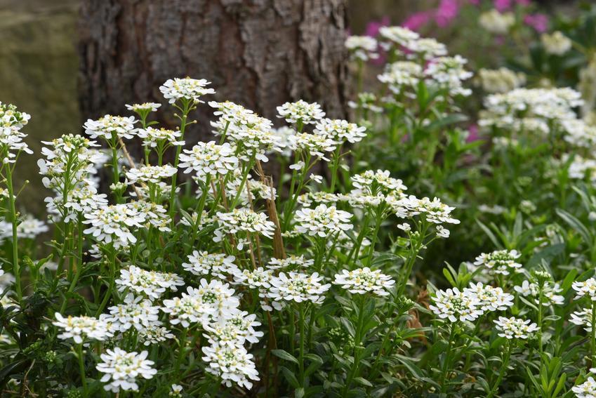 Gęsiówka kaukaska w czasie kwitnienia w ogrodzie, a także tej uprawa i pielęgnacja