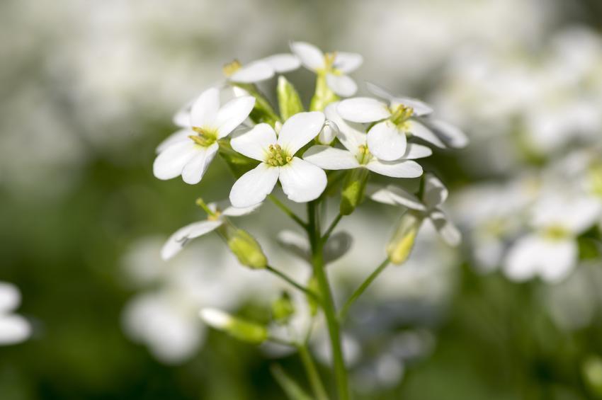 Gęsiówka kaukaska w czasie kwitnienia i zbliżenie na jej kwiat, a także tej uprawa i pielęgnacja