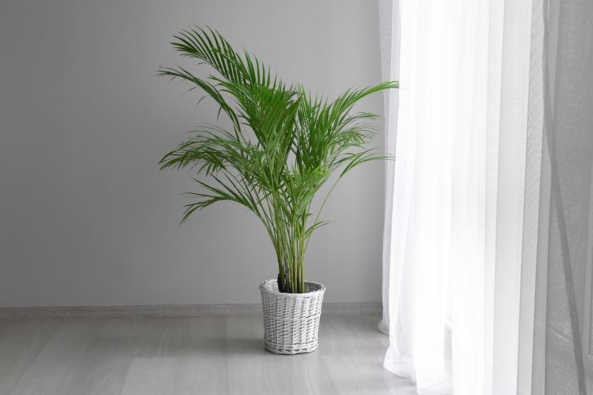 Areca dypsis lutescens, czyli areca palm w doniczce, a także jej podlewanie i inne zabiegi pielęgnacyjne