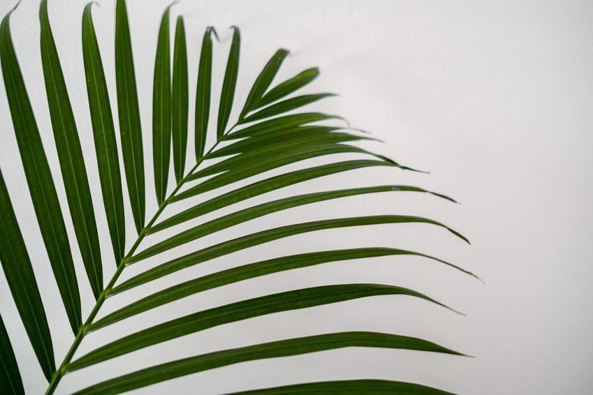 Areca dypsis lutescens, czyli areca palm i zbliżenie na jej liście na białym tle, a także jej uprawa