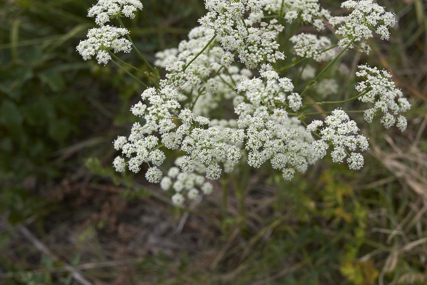 Blekot pospolity w czasie kwitnienia, a także liście blekotu, silnie trujące chwasty i ich zwalczanie