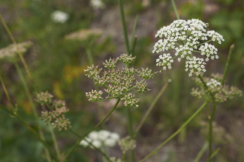 Zbliżenie na blekot pospolity i  liście blekotu jako silnie trujące chwasty w ogrodzie