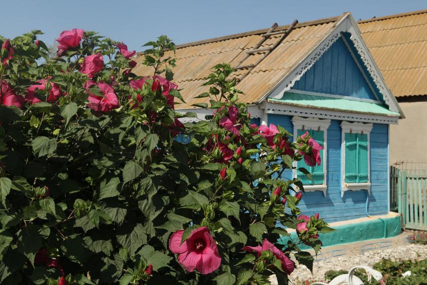 Hibiskus ogrodowy przed domem w czasie kwitnienia, a także przycinanie hibiskusa krok po kroku