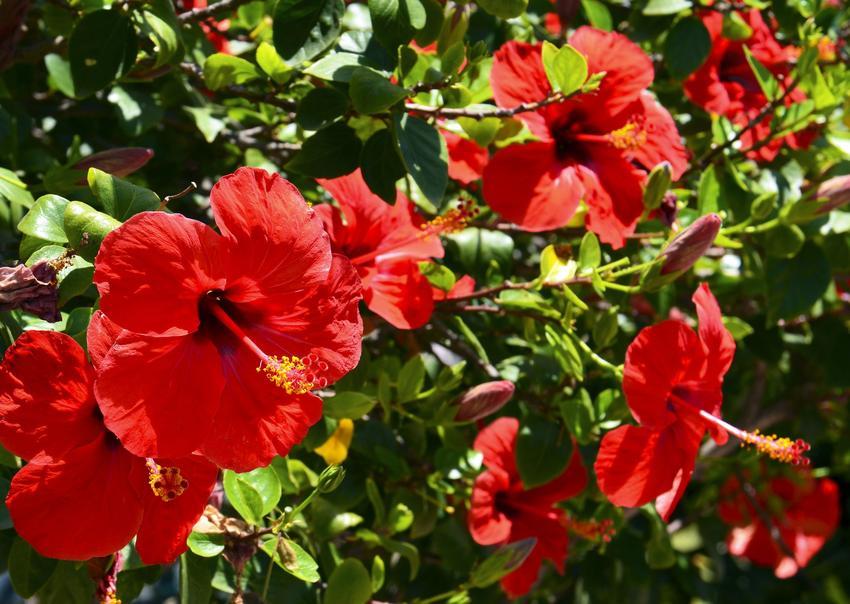 Hibiskus ogrodowy w czasie kwitnienia, a także przycinanie hibiskusa krok po kroku