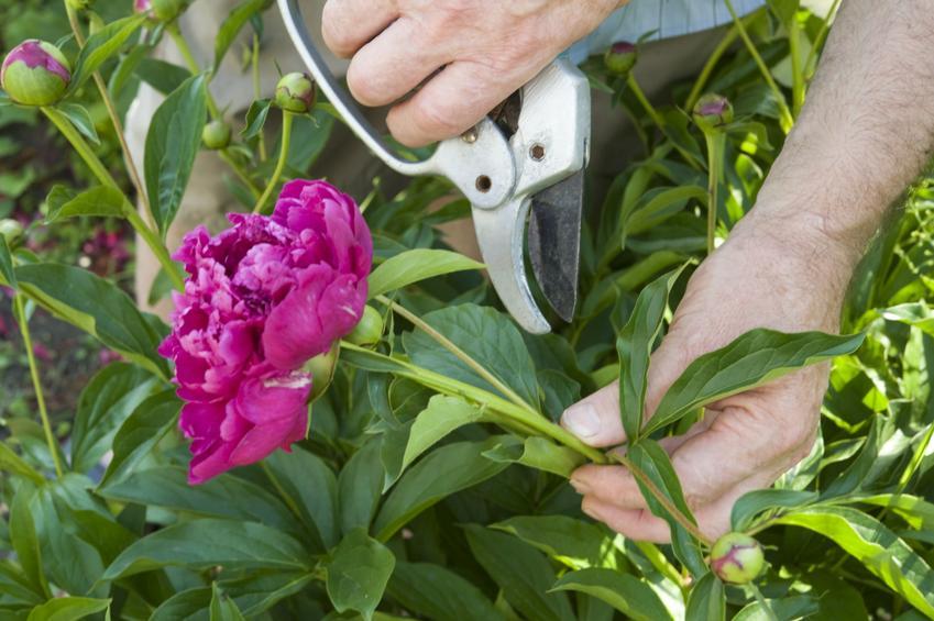 Kwitnąca piwonia i sekator trzymany przez ogrodnika, a także przycinanie piwonii