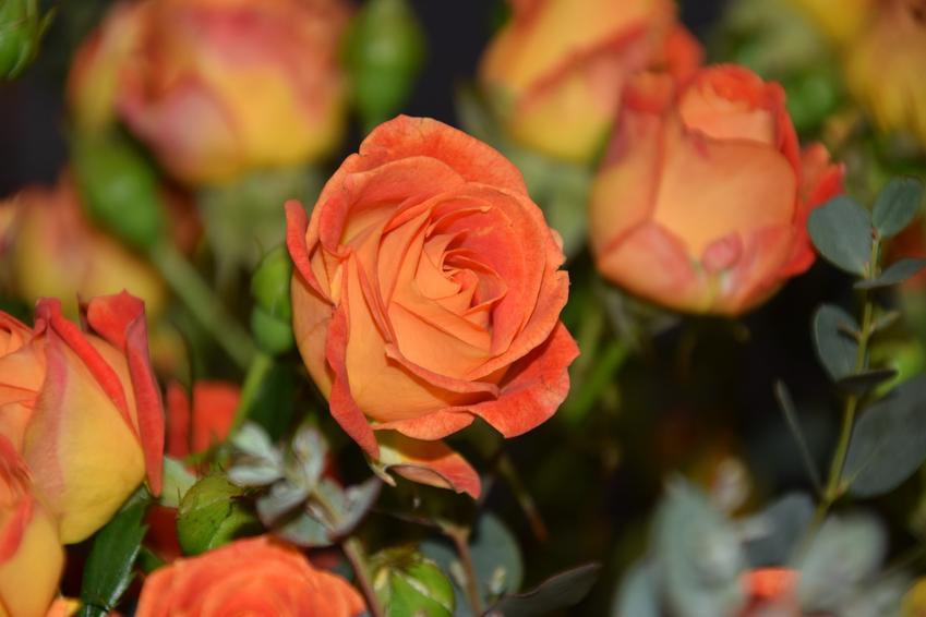 Pomarańczowe róże lub róże herbaciane oraz znaczenie tego koloru