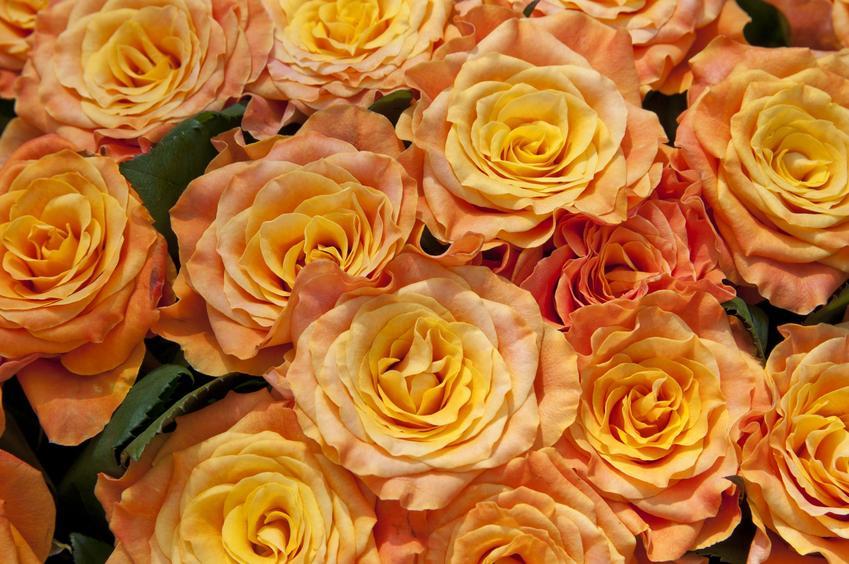 Piękne róże herbaciane ułożone w duży bukiet, a także informacje co oznaczają pomarańczowe róże