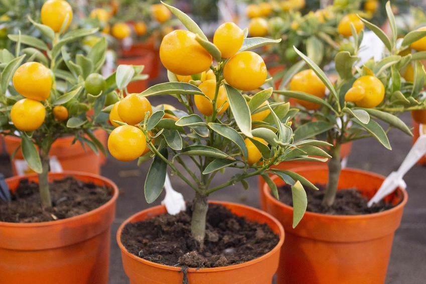 Drzewko pomarańczowe w doniczkach, a także drzewko pomarańczy w uprawe w domu