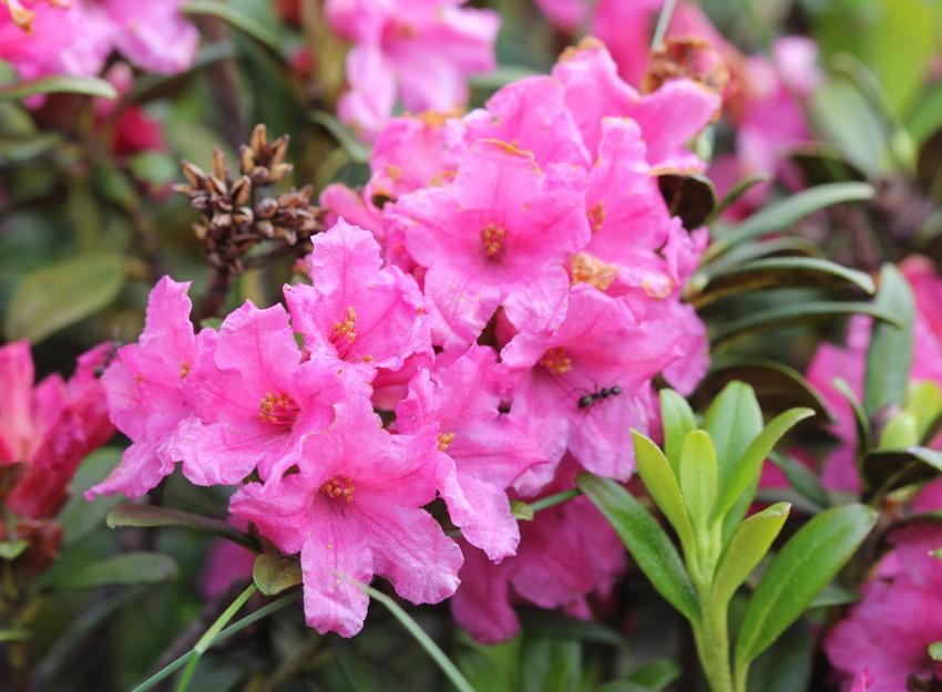 Różanecznik alpejski w czasie kwitnienia oraz zbliżenie na kwiaty, a także jego uprawa i pielęgnacja
