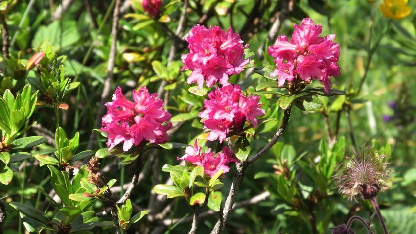 Różanecznik alpejski rhododendron ferrugineum w czasie kwitnienia, a także jego uprawa i pielęgnacja