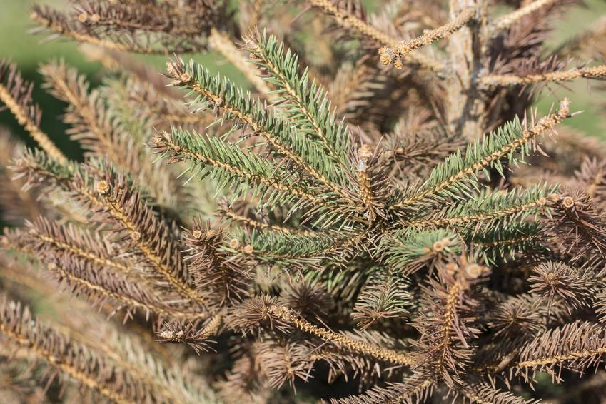 Rdzawe igły drzewa, a także choroby świerków, choroby jałowca, choroby sosny