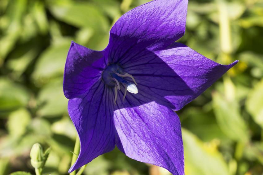 Platycodon i zbliżenie na jego kwiat oraz rozwar wielkokwiatowy i jego uprawa krok po kroku