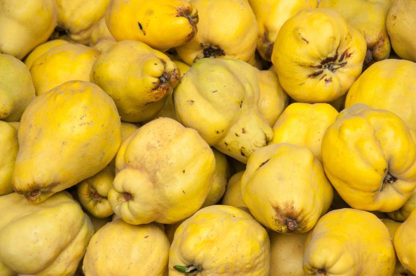 Owoce pigwy, a także właściwości pigwy, właściwości lecznicze i działanie