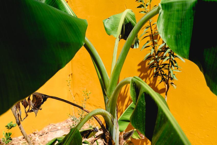 Zielony bananowiec w doniczce na tle żółtej ściany, a także uprawa i pielęgnacja