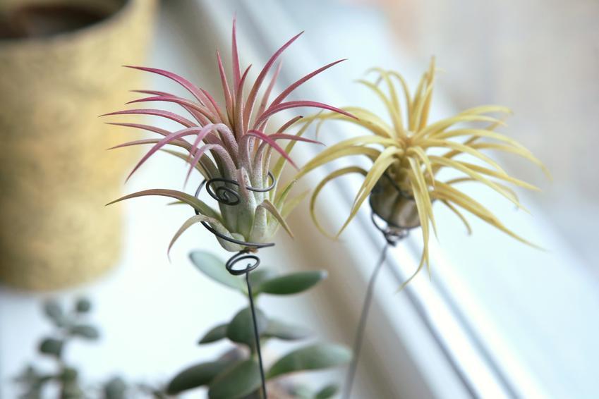 Oplątwa tillandsia na drucikach, a także jej uprawa, kwitnienie, pielęgnacja i porady