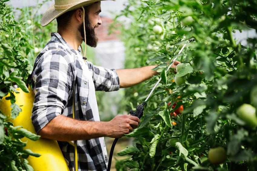Mężczyzna podczas opryskiwania pomidorów, a także preparaty i polecane środki ochrony roślin