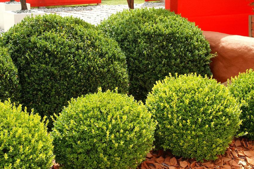 Bukszpan kula, a także porady, jak uformować kule bukszpanu w ogrodzie