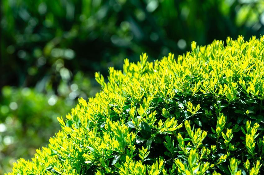 Bukszpan wieczniezielony w ogrodzie, a także cena bukszpanu i żywopłot z bukszpanu