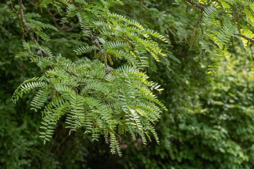 Glediczja trójcierniowa, a także uprawa i pielęgnacja gleditsia triacanthos w ogrodzie