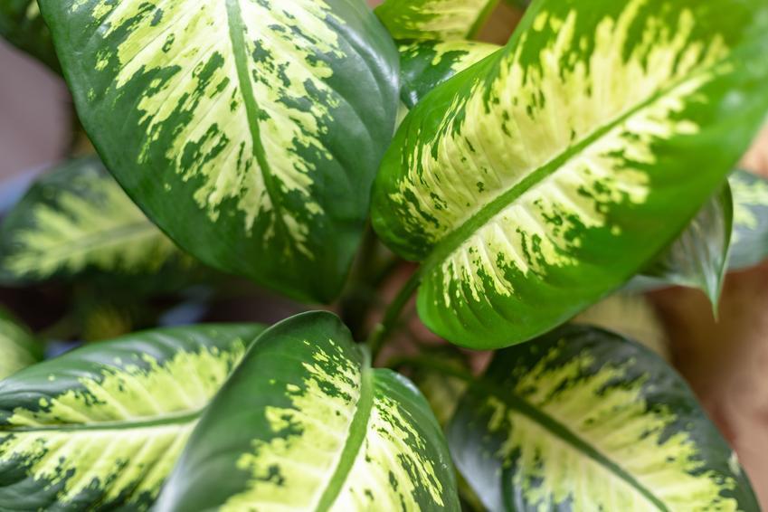 Difenbachia i inne rośliny trujące w Polsce, na które trzeba uważać