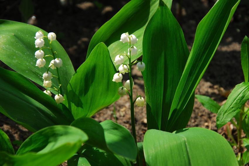 Konwalia majowa i inne rośliny trujące w Polsce, na które trzeba uważać