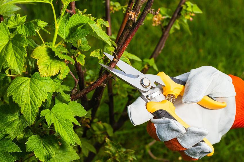 Przycinanie krzewów ozdobnych w ogrodzie przez ogrodnika, a także cięcie krzewów ozdobnych
