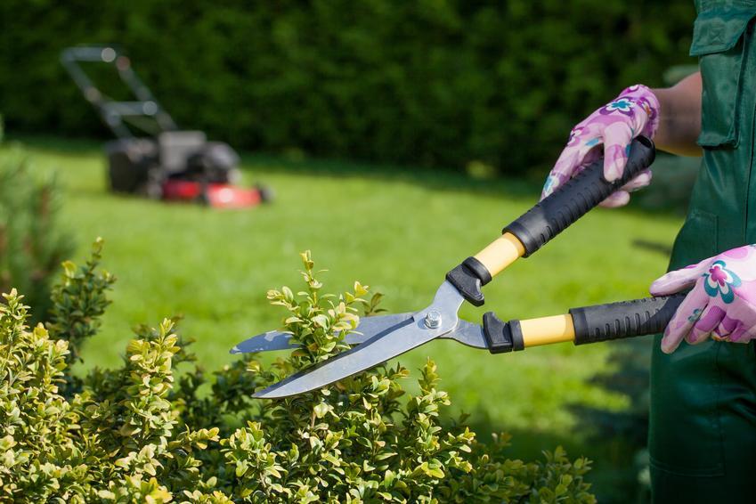 Przycinanie krzewów ozdobnych sekatorem w ogrodzie oraz cięcie krzewów ozdobnych