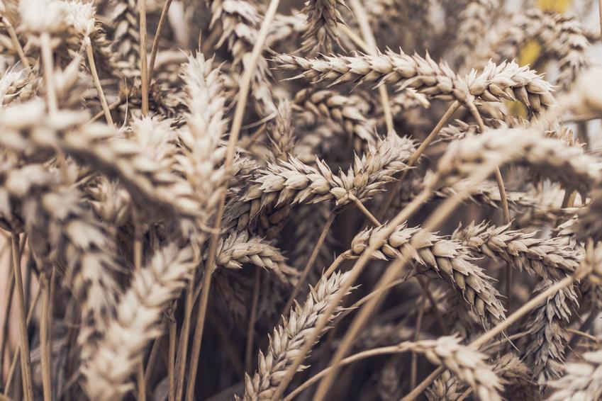 Poplon ozimy – które rośliny najlepiej wybrać i jak wysiewać?