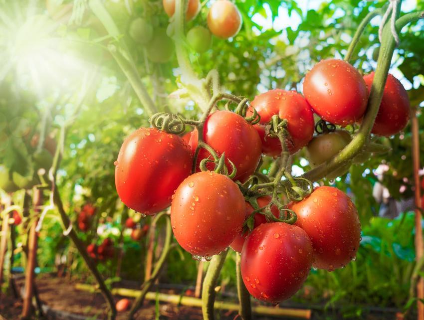 Pomidory w słońcu na krzaczkach, a także Polecane odmiany pomidorów i gatunki pomidorów gruntowych