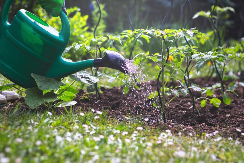 Podlewanie pomidorów w ogrodzie krótko po posadzeniu, a także porady jak często podlewać pomidory