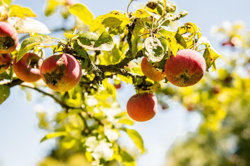 Porażona owoce i liście jabłoni, a także choroby jabłoni, parch jabłoni, zwalczanie chorób, grzyb na jabłoni