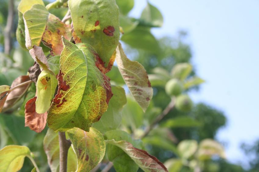 Porażone liście jabłoni, a także choroby jabłoni, parch jabłoni i zwalczanie chorób