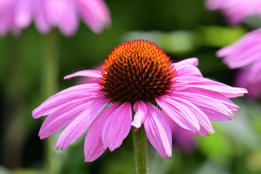 Jeżówka i zbliżenie na jej kwiat w czasie kwitnienia w ogrodzie, a także sadzonki jeżówki i odmiany jeżówki