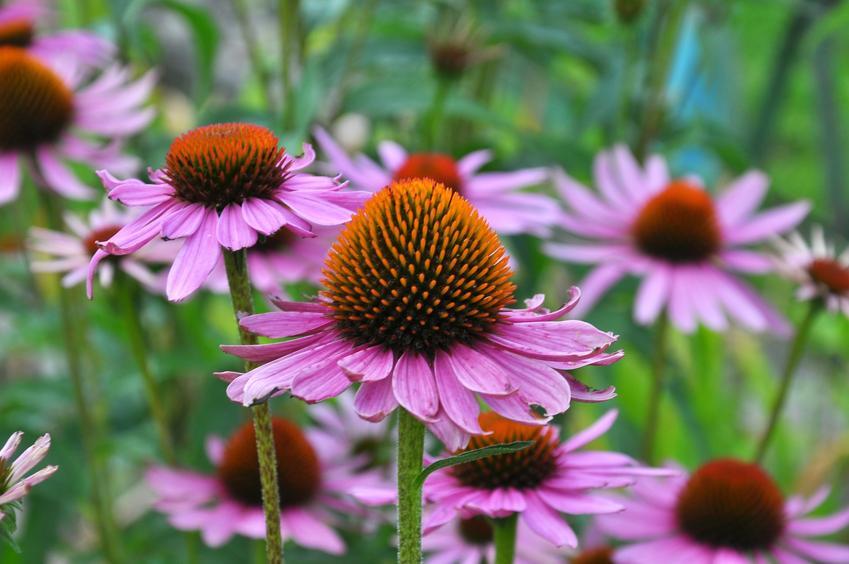 Kwiat jeżówka w czasie kwitnienia w ogrodzie, a także sadzonki jeżówki, jeżówka purpurowa, odmiany jeżówki