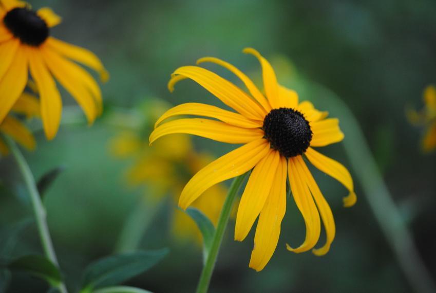 Jeżówka żółta w czasie kwitnienia w ogrodzie, a także odmiany i sadzonki jeżówki