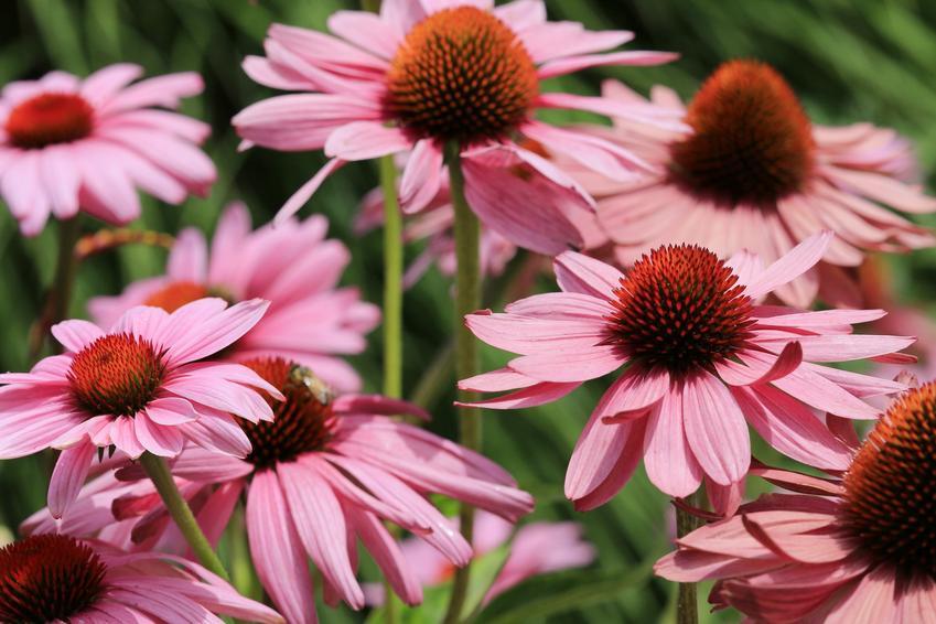 Jeżówka purpurowa w czasie kwitnienia w ogrodzie, a także odmiany i sadzonki jeżówki