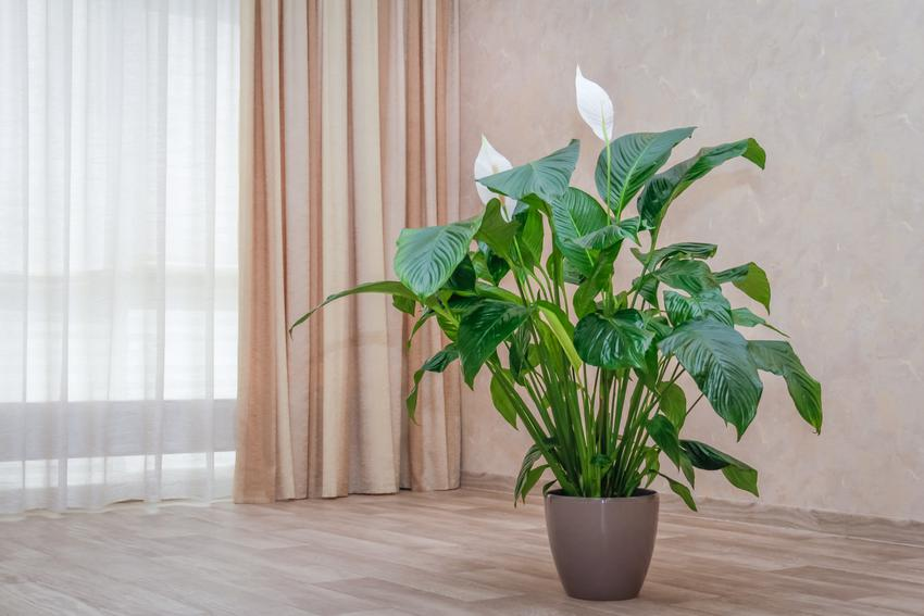 Skrzydłokwiat w doniczce na podłodze w domu, a także właściwości lecznicze skrzydłokwiatu i właściwości trujące