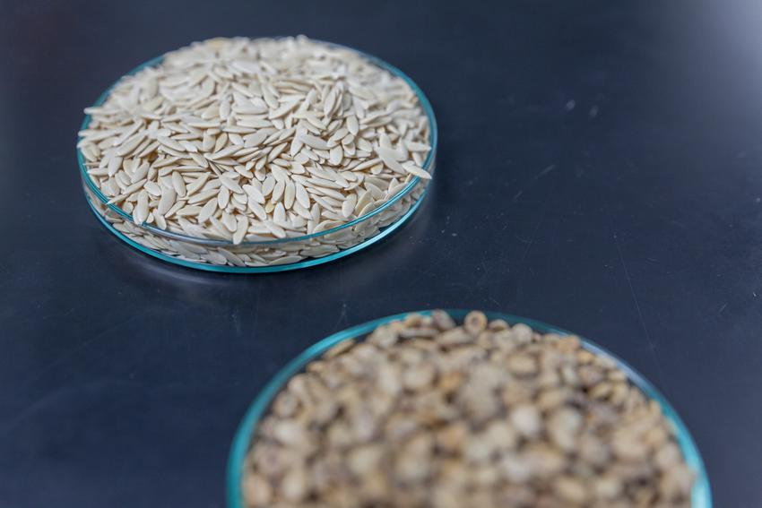 Nasiona ogórków na czarnym tle, a także siew i uprawa ogórków grunkowych