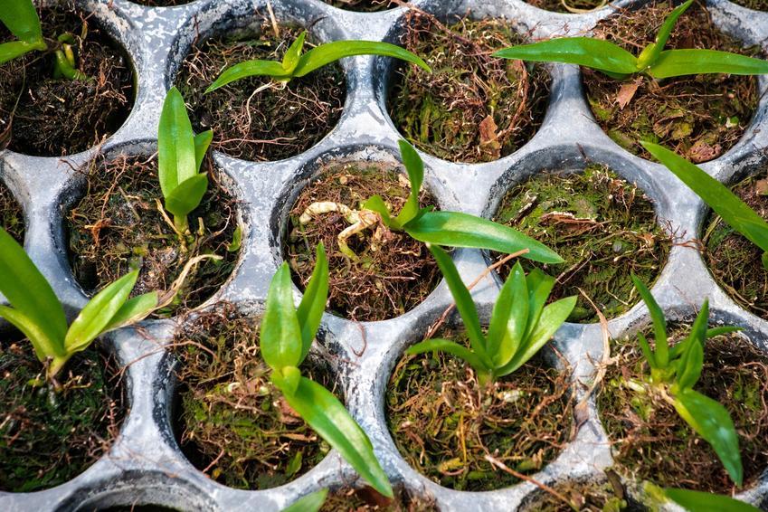 Posadzone orchidee, a także  nasiona storczyka oraz rozmnażanie storczyków z nasion