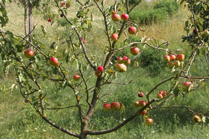 Dzika jabłoń w czasie owocowania, a także jej uprawa i pielęgnacja