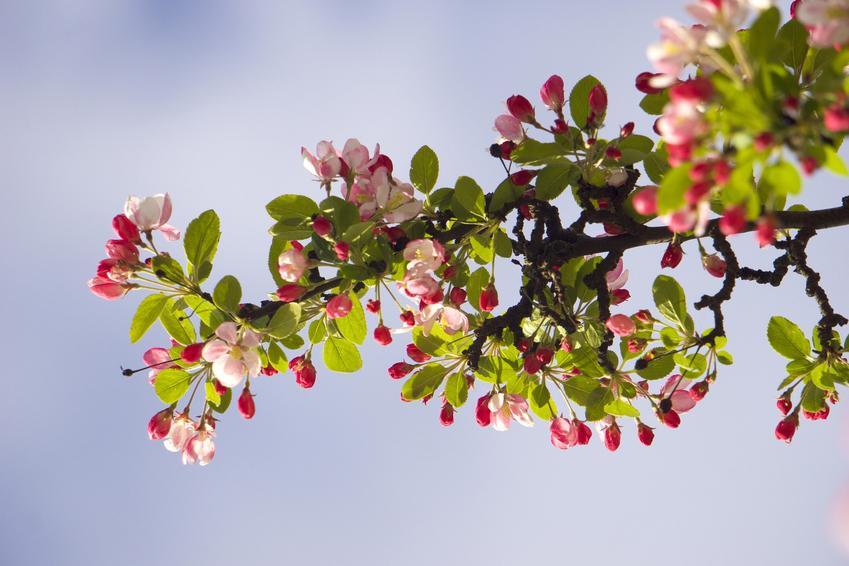 Dzika jabłoń w czasie kwitnienia, a także jej uprawa i pielęgnacja
