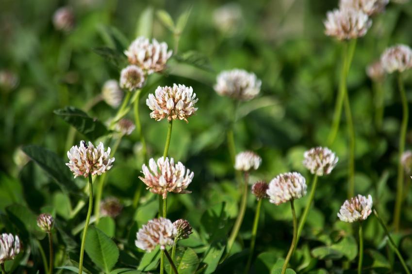 Koniczyna biała kwitnąca na polu, a także jej uprawa i pielęgnacja