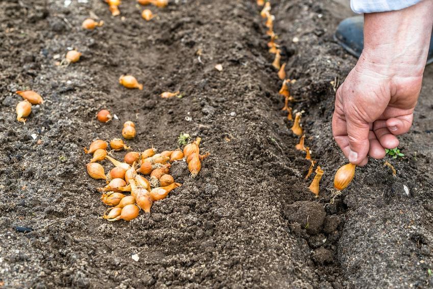 Sadzenie cebuli, a także nasiona cebuli i odmiany cebuli w Polsce