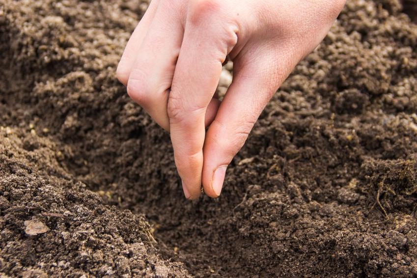 Nasiona marchwi i ich wysiew oraz cena nasion marchwi, jakie nasiona marchwi kupić