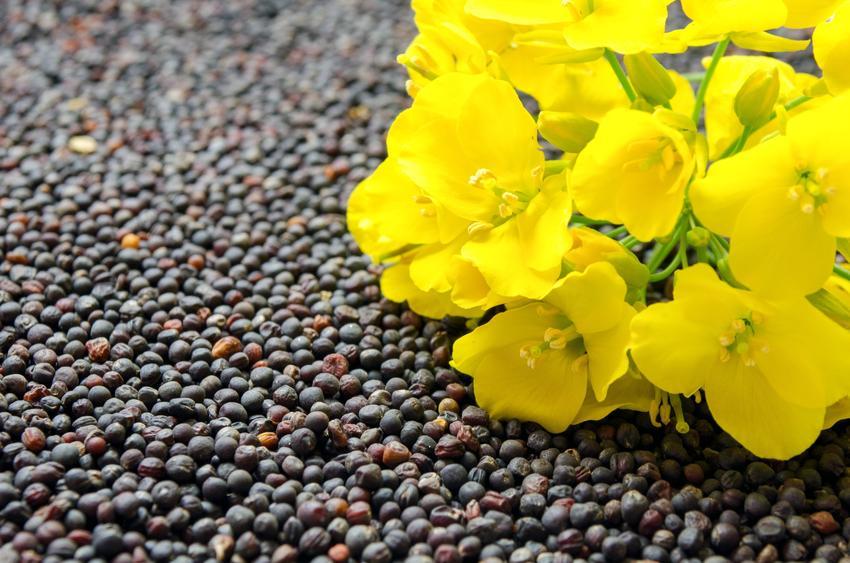 Nasiona rzepaku i kwiat rzepaku na ich tle, a także ceny nasion rzepaku