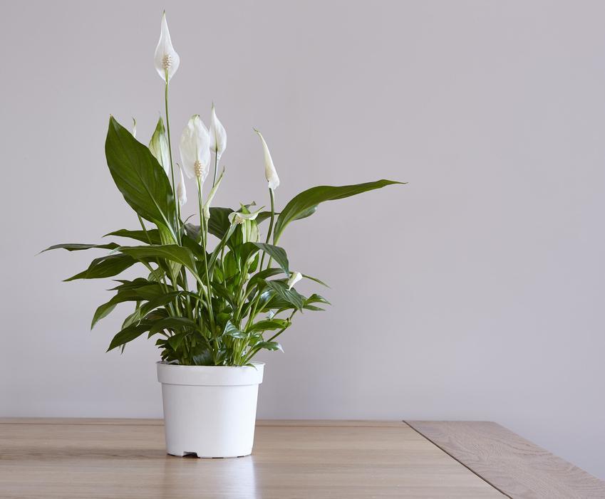 Skrzydłokwiat w doniczce na stole, a także szacowana cena skrzydłowiatu